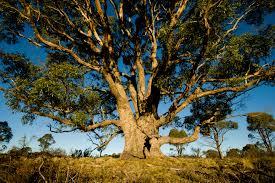 eucalyptus-oil-tree-healing-essential-oils-pain-relief